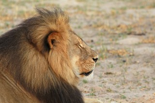 Cecil the Lion – Will the EU ban hunting  'trophies'?