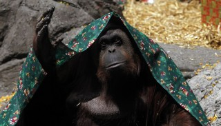 Sandra the Orangutan Granted Non-Human Rights
